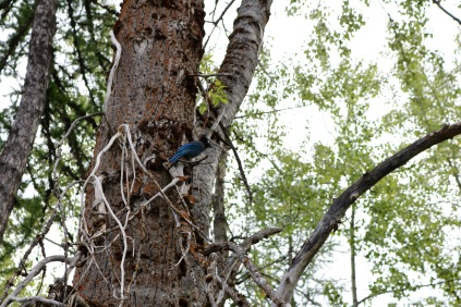 Steller's Jay at Glacier National Park.