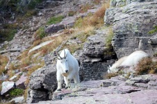 We encountered a couple of mountain goat's on our Logan Pass hike.