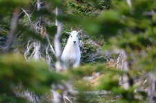 "We encountered a couple of mountain goats on our Logan Pass hike; this is the baby or ""kid""."