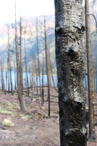 The charred bark of a burnt tree from a recent forest fire near Saint Mary Lake in Glacier National Park.