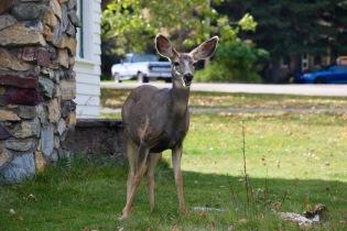 Deer roaming the town of Waterton.