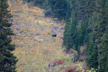 Moose(?) in the distance in Waterton Lakes National Park.