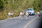 Deer causing a traffic jam in Waterton Lakes National Park.