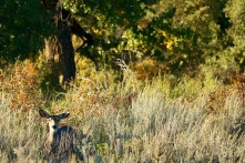 Deer in the cottonwoods trail in Dinosaur Provincial Park.
