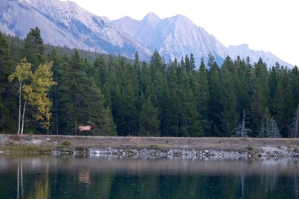 Elk across from our campsite on Two Jack Lake in Banff National Park.