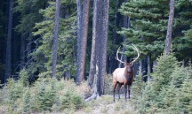 Male elk looking over a herd in Banff National Park.