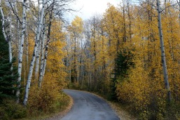 Birch trees lining the road in Jasper National Park