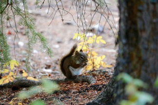 A red squirrel on Pyramid Island in Jasper National Park