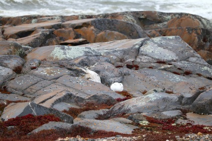 An arctic hare resting in the rocks in Churchill, Manitoba.