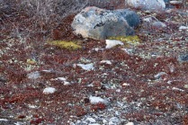 The fragile mosses and small plants of the tundra