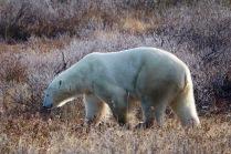 Bear #1