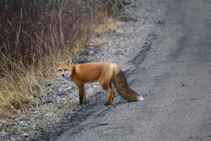 A beautiful red fox crossing the road in Churchill, MB