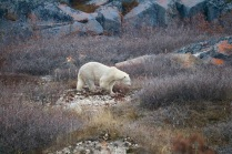 A curious polar bear strolling the streets of Churchill, Manitoba