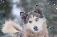 This is Whiskey - one of our lead sled dogs with Bluesky Bed & Sled, Churchill, MB