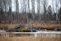 One of the many, many Northern Alberta beaver lodges we drove by