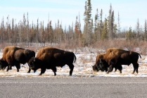Buffalo grazing along the highway in NWT