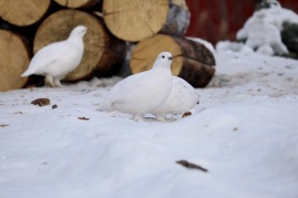 Army of ptarmigans in Old Town