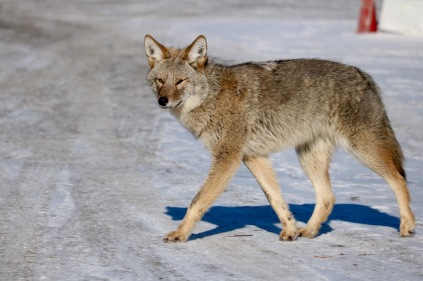 Spotted a coyote strolling the city streets near the toboggan hill