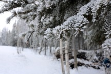 Frosty pines at Aurora Village