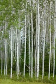 Beautiful birch forests