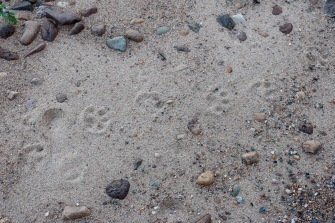 The first night of our stay, we were warned about a recent black bear sighting on the beach; thanks to a previous guest who left behind some fish scraps on the beach close to the cabins... Luckily, he was out of sight during our whole stay at the lodge. Also, at second glance, maybe they're just dog prints....